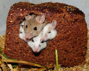 vielzitzenmäuse-mäuse