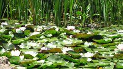 Natur-Schwimmteich mit Seerosen