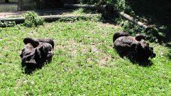 Schwarzes Schwanenpaar